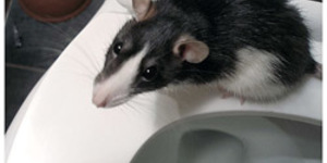 There's A Rat In My Toilet What Am I Going To Do?