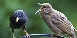 Starling Numbers Still Slipping