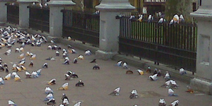 Pigeon Promotion Takes Over Leicester Square