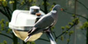 Wood Pigeons Heart London Gardens