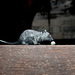 Thames Water's pet rat. A plastic fellow known as Roland. Real rats are rarely seen in the major sewers.