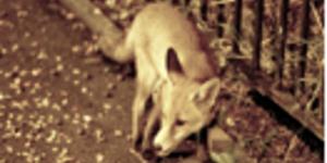 Fox Beaten To Death In Victoria Park