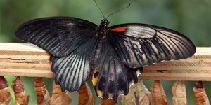 Rare Dual Sex Butterfly Hatched At The Natural History Museum