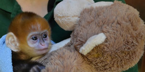 "In Pictures: Baby Monkey ""Flame"" at London Zoo"