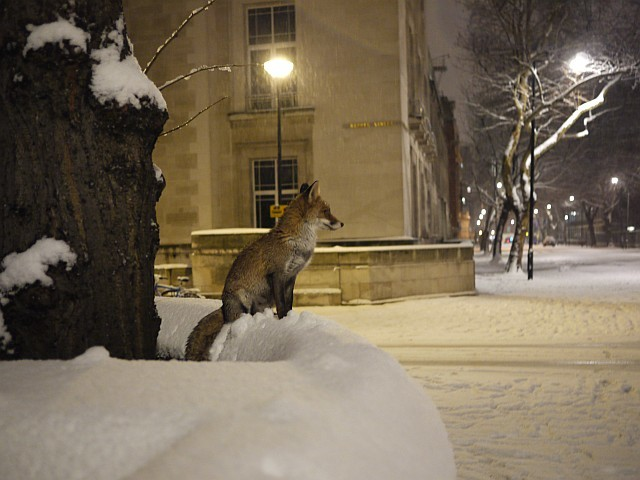 london_snow_fox.jpg