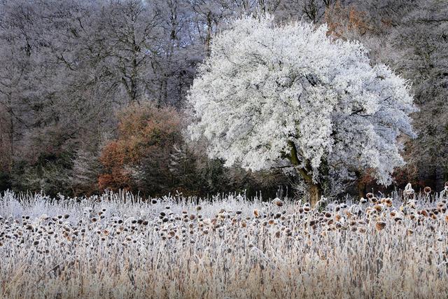 Frosty Sunflowers, The Chilterns, Buckinghamshire, England