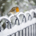 Robin in the snow, Dulwich Park by Andy Sidders