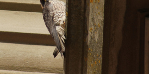 Young Peregrine Falcon Takes A Shine To Alexandra Palace