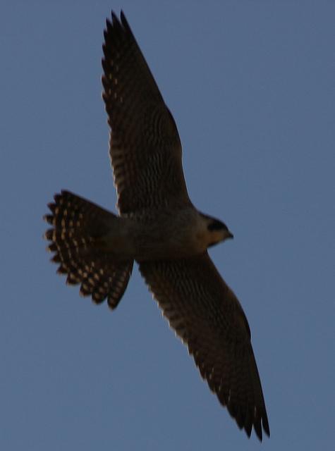Peregrine wingspan by Stephen Middleton