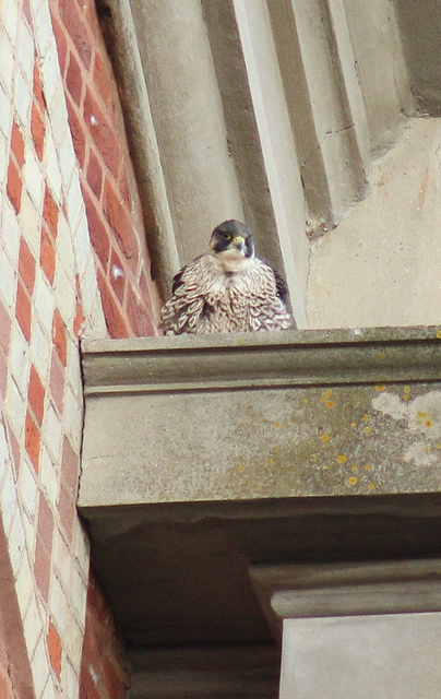 Fluffy peregrine falcon by Stephen Middleton