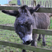 Hackney City Farm donkey by McTumshie