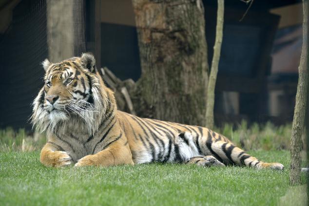 Sumatran Tiger Jae Jae checks out the crowds at the new Tiger Territory at London Zoo. © ZSL