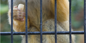 Monkeys Bite One Person A Month At London Zoo
