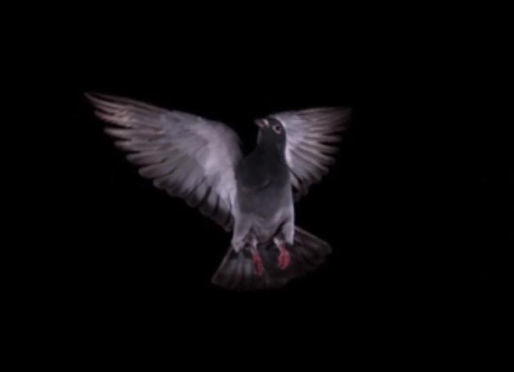 Pigeon Flight Filmed In Slo Mo