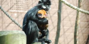 """""""Royal"""" Baby Monkey Born At London Zoo"""
