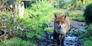 There's A Fox Looking At Me Funny: Stupid 999 Calls