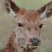 Deer, Richmond Park