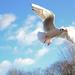 Gull, St James's Park