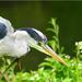 Heron, Regent's Park