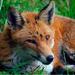 Fox in west London