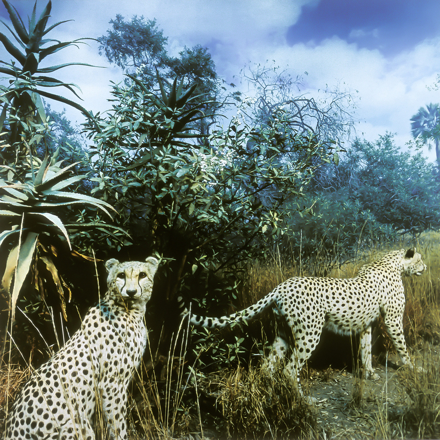 Karl Grimes. Cheetahs. C-Print. From the 'Stuffed Histories' series. 1998. 61x61cm. Collection of the artist. Photographs from inside the dioramas in the American Museum of Natural History, New York. USA.