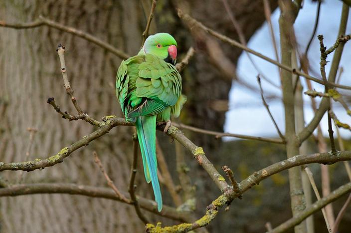 Parakeet, Richmond Park