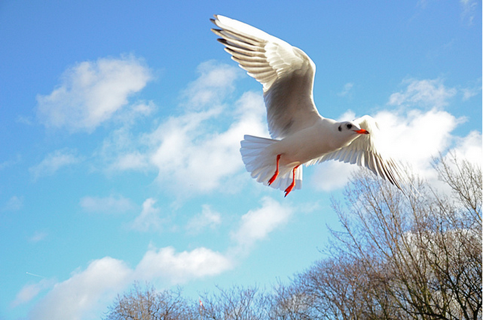 Gull, St James's Park