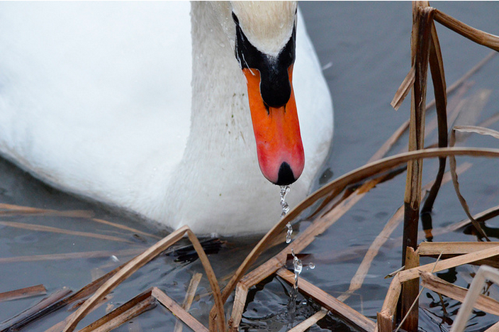 Swan, London Wetland Centre