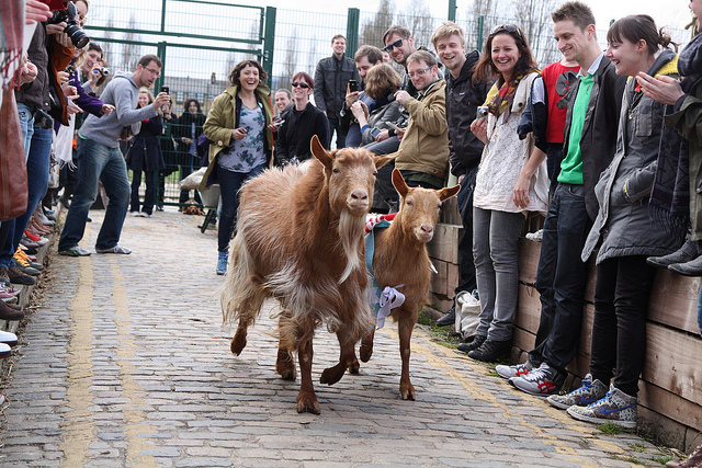 Oxford And Cambridge Goat Race 2014