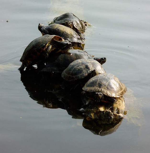 'Voracious' Terrapins Removed From Park