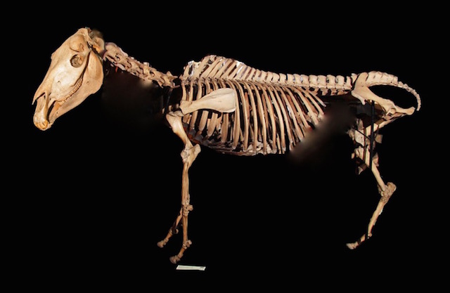 World's Rarest Skeleton To Be Preserved At Grant Museum