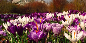 Friday Photos: Crocuses