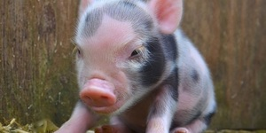 This Little Piggy Went To… The London Pignic