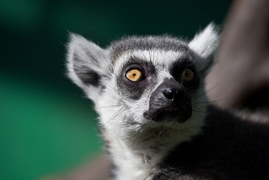 Video: London Zoo's New Lemur Walk-Through