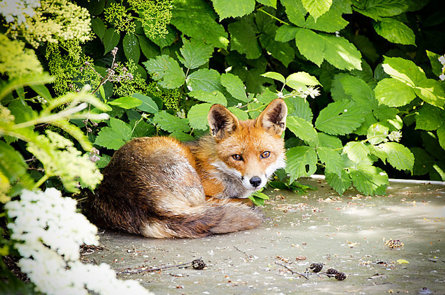 What Would London Be Like Without Foxes?
