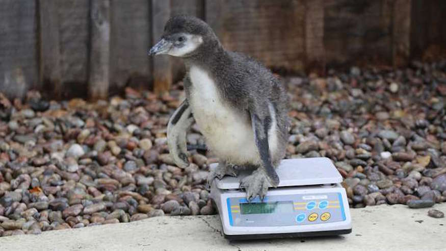 How Do You Weigh 17,000 Animals?