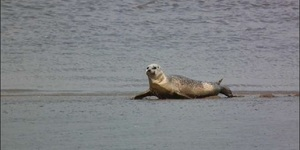 Want To See Thames Seals? Head To Canary Wharf
