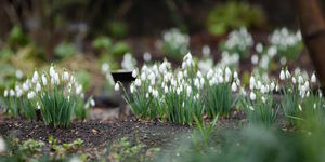 Snowdrop Days Brought Forward Due To Mild Weather