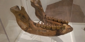 See Mammoth Skulls From Ice Age Ilford