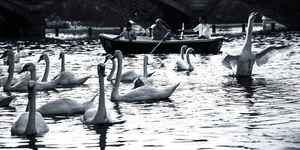 Swans In London: Things You Should Know