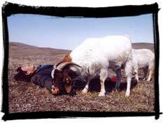 two_great_sheep.jpg