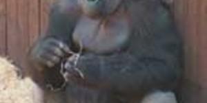 Gorillas, Getcha Lovely Gorillas Here