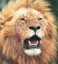 455 Lion gaping.jpg