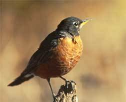 Turdus Found In Peckham