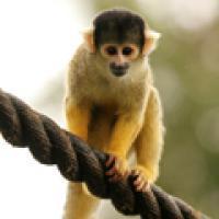Alert: Monkey Escape!