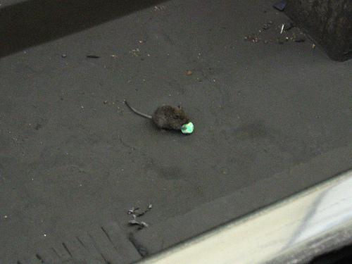 Mouse Mayhem In East End Hospital