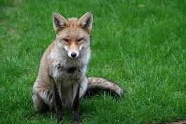 406_urban_fox.jpg