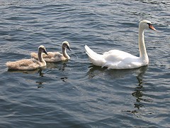 Swans Missing, Worst Feared