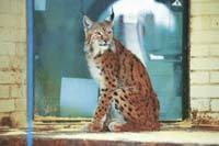 Lara the Lynx