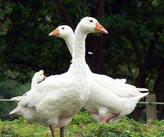 1702.goose.jpg